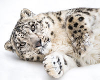 Playful Snow Leopard III Stock Photo