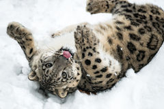 Playful Snow Leopard Royalty Free Stock Photography