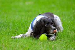 Playful spaniel Royalty Free Stock Photo