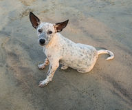 Playful spotty puppy on a beach Royalty Free Stock Photo