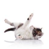 Playful spotty small kitten. Stock Image