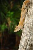 Playful Squirrel Stock Photos