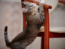 Playful striped cat and chair. Stock Photo