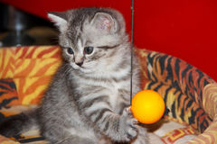 Playful striped silver kitten with ball. Playful striped kitten and the ball. Kitty studies the ball on a string. Playful kitten with a ball. Kitten tabby tiger royalty free stock photo