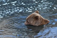 Playful Submerged Bear. Playful bear doing water bubbles with his nose stock photo