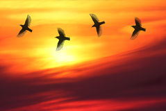 Playful Sunset. Four birds chasing each other in front of beautiful sunset stock images