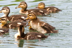 Playful swimming mallard ducklings. Small group of playful and swimming mallard duck ducklings in a pond or lake Stock Photos