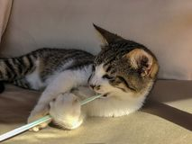 Playful tabby cat kitten playing with a plastic drinking straw. S stock image
