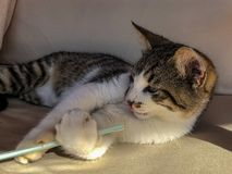 Playful tabby cat kitten playing with a plastic drinking straw. S stock photos