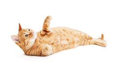 Playful Tabby Cat Laying on Back Royalty Free Stock Image