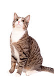 Playful tabby cat on white Stock Photography