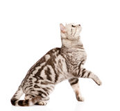Playful tabby grown cat in profile. isolated on white background Stock Photography