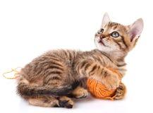 Playful tabby kitten Stock Photography