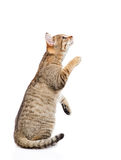 Playful tabby kitten standing on hind legs and looking up. isolated Royalty Free Stock Photo