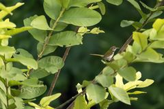 A Playful Tailorbird. A Tailorbird playing on a guava tree stock image