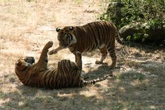 Playful Tigers. Two male tigers playing at Little Rock, Ar Zoo Royalty Free Stock Image