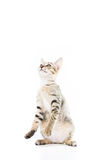 Playful toyger kitten stand up show hand isolated Stock Images