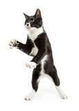 Playful Tuxedo Cat Standing Paws Up Royalty Free Stock Photo