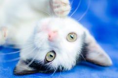 Playful Tuxedo Kitten. Studio Adoption Portrait Animal Shelter Humane Society stock photo