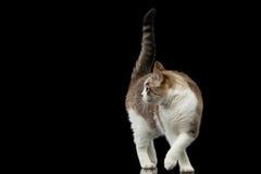 Playful Walking White Cat Crouching on Isolated Black Background Stock Photo
