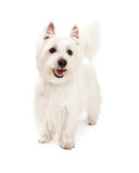 Playful West Highland Terrier Dog Standing Royalty Free Stock Image