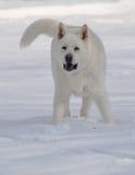 Playful White Akita in the Snow Stock Photo