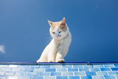 Playful white cat beside the pool Royalty Free Stock Photo