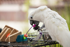 Playful White Cockatoo Stock Images