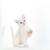 Playful white kitten Royalty Free Stock Photography