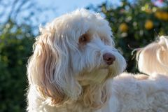 Playful white labradoodle curiously listening to an unknown sound in the backyard in the afternoon stock photo