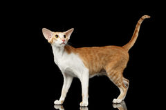 Playful White Oriental Cat Standing and Looking up, Black Isolated Royalty Free Stock Image