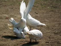 Playful white pigeons stock images