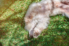 Playful white poodle on green grass Stock Images