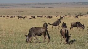 Playful wildebeest Stock Photo