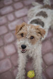 Playful Wired fox terrier dog. Wired fox terrier dog with a ball ready to play Royalty Free Stock Images