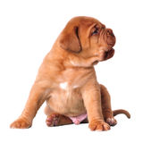 Playful wrinkled puppy Royalty Free Stock Image