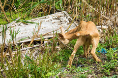Playful yeanlings baby goat Stock Images