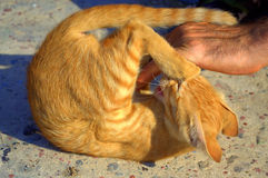 Playful yellow kitten and man hand Royalty Free Stock Photos
