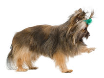 Playful Yorkshire terrier Royalty Free Stock Image