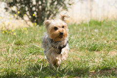 Playful Yorkshire terrier running. Stock Photo