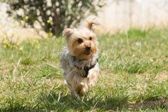 Playful Yorkshire terrier running. Playful Yorkshire terrier running at a park Stock Photo