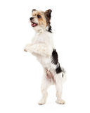 Playful Yorkshire Terrier and ShihTzu Crossbreed Royalty Free Stock Images