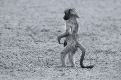 Playful young baboon looking for trouble in nature artistic conv Royalty Free Stock Images