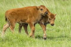 Playful young bison. stock images