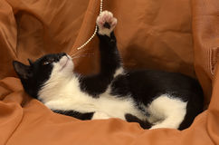 Playful young black and white cat Royalty Free Stock Photos