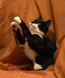 Playful young black and white cat Stock Image