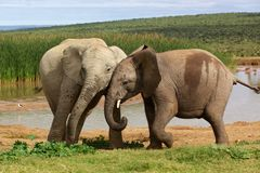 Playful Young Elephants Royalty Free Stock Photos