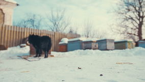 Playful young mongrel dog on chain in snow. Kennel. stock video footage