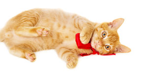 Playful young redhead cat lies on the floor Stock Photos