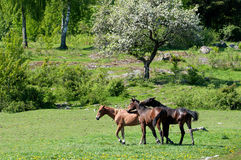 Playful young stallions Royalty Free Stock Photo